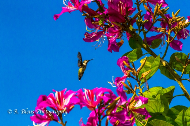 Hummingbird on Bauhinia × blakeana Flower, MG_6128-8