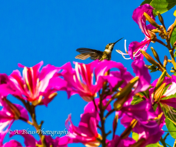 Hummingbird on Bauhinia × blakeana Flower, MG_6128-9