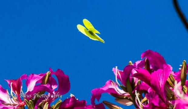 Julia Butterfly on Bauhinia × blakeana Flower, MG_5738-2
