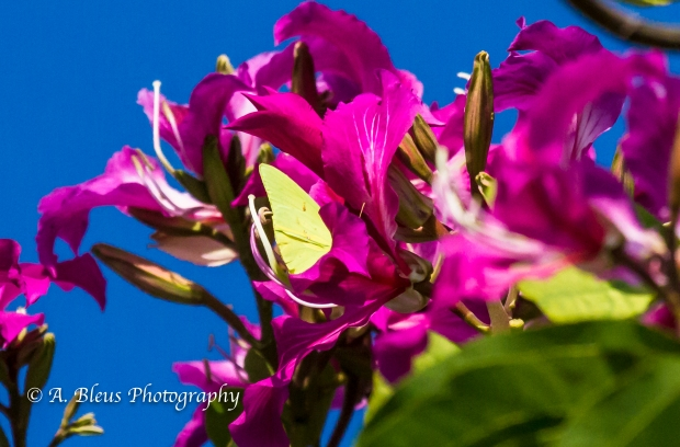 Julia Butterfly on Bauhinia × blakeana Flower, MG_5738