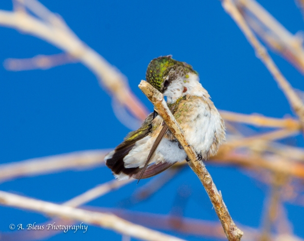 Juvenile Male Hummingbird perched, MG_6691