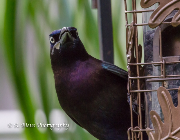 Long-tailed Grackle, MG_2191