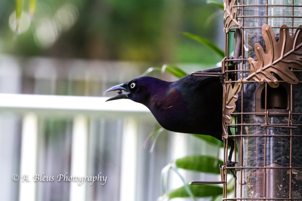 Long-tailed Grackle on Feeder, MG_2176-2