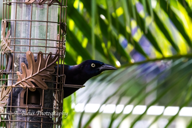 Long-tailed Grackle on Feeder, MG_2176-3