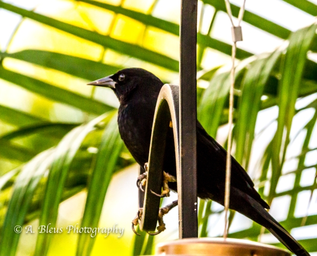 Long-tailed Grackle on Feeder, MG_2176-4