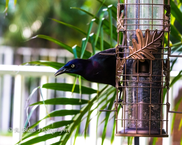 Long-tailed Grackle on Feeder, MG_2176