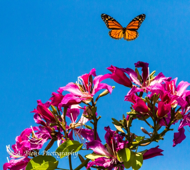 Monarch Butterfly on Bauhinia × blakeana Flower, MG_6085-1