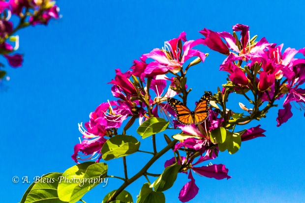Monarch Butterfly on Bauhinia × blakeana Flower, MG_6085-2