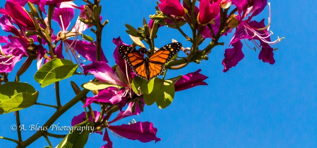 Monarch Butterfly on Bauhinia × blakeana Flower, MG_6085-3