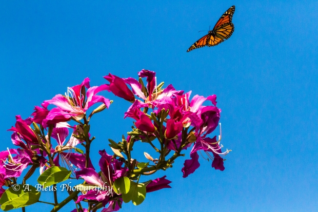 Monarch Butterfly on Bauhinia × blakeana Flower, MG_6085-4