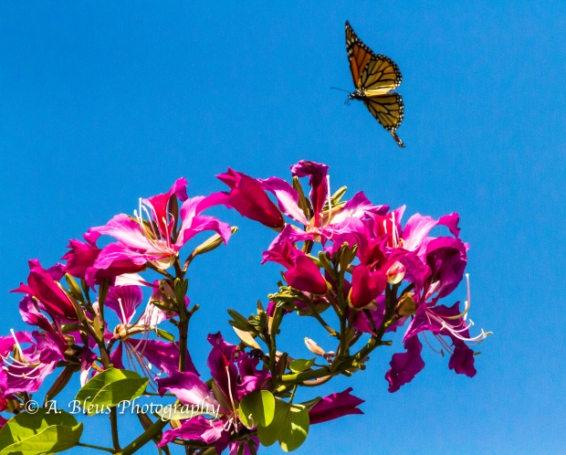 Monarch Butterfly on Bauhinia × blakeana Flower, MG_6085-5