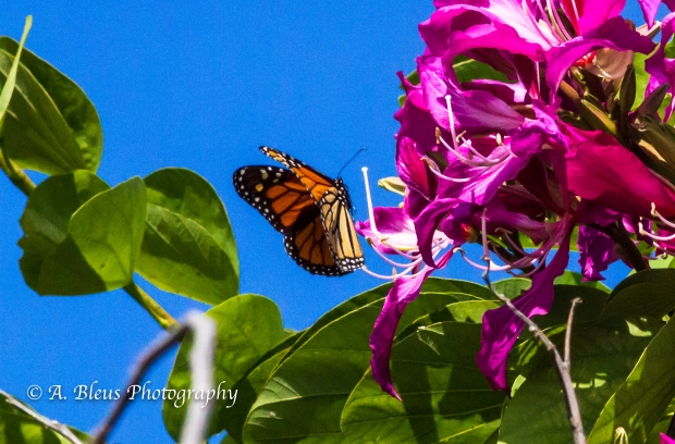 Monarch Butterfly on Bauhinia × blakeana Flower, MG_6085-6