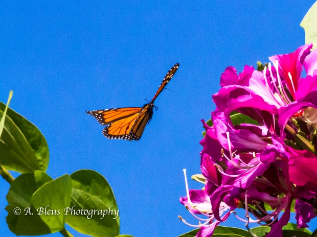 Monarch Butterfly on Bauhinia × blakeana Flower, MG_6085-7