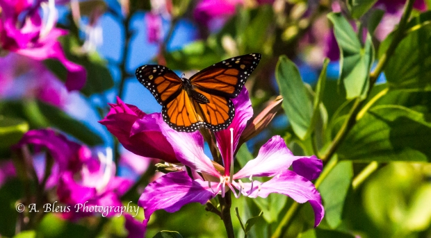 Monarch Butterfly on Bauhinia × blakeana Flower, MG_6085-8