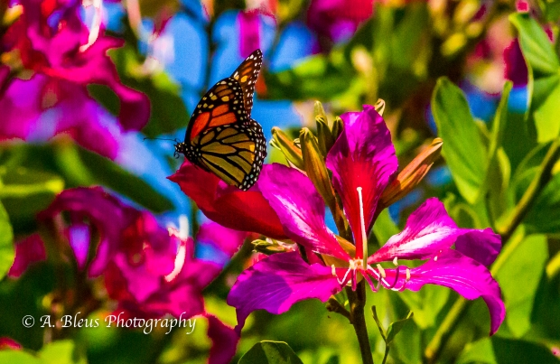 Monarch Butterfly on Bauhinia × blakeana Flower, MG_6085-9