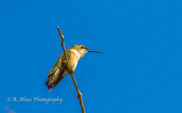 Perched Hummingbird on a Twig, MG_6152-5