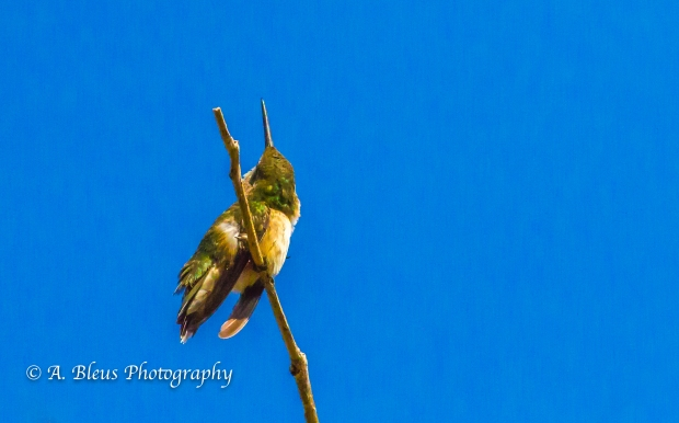 Perched Hummingbird on a Twig, MG_6152-6