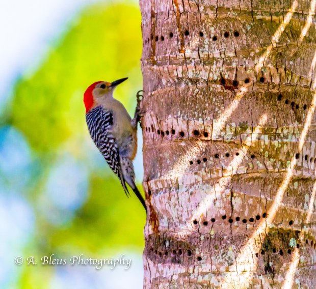 Red-headed Woodpecker_MG5068-3