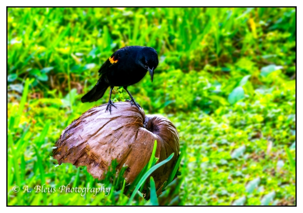 Red-winged Blackbird on Coconut, MG_2174