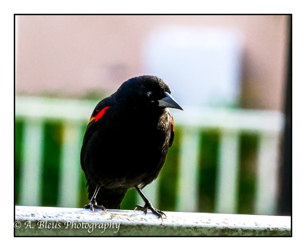 Red-winged Blackbird on Fence, MG_2172