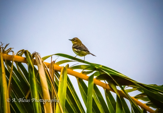 Warbler on Coconut Tree Branch, MG_2160