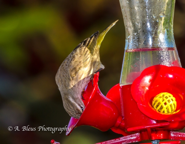 Warbler on Feeder, MG_5376-2