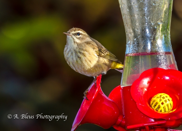 Warbler on Feeder, MG_5376-3