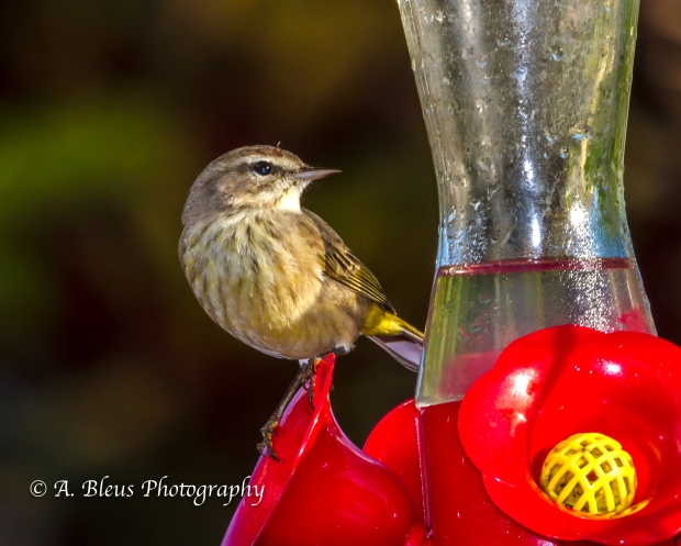 Warbler on Feeder, MG_5376