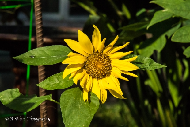 Yellow Sunflower, IMG_4078