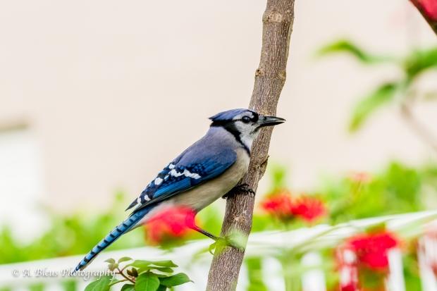 Blue Jay in my garden, MG_9520-2