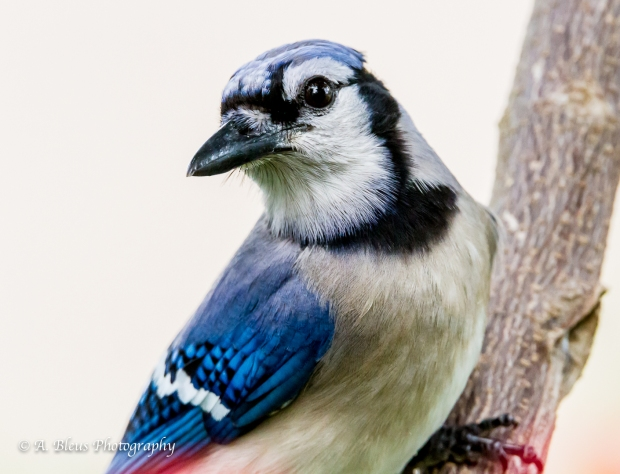 Blue Jay in my garden, MG_9520-3