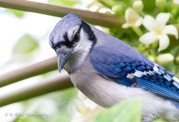 Blue Jay in my garden, MG_9520-4