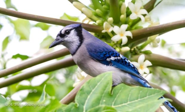 Blue Jay in my garden, MG_9520-5