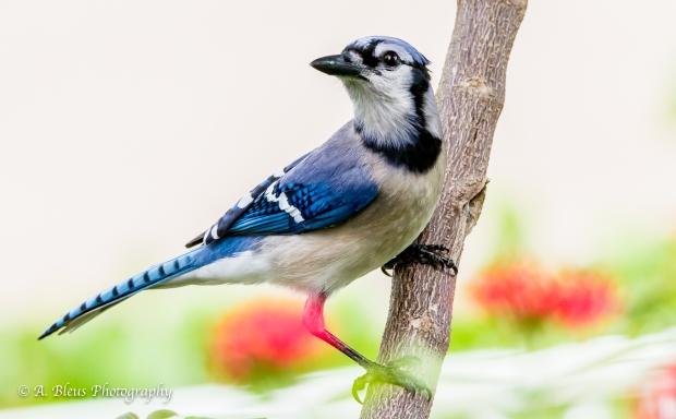 Blue Jay in my garden, MG_9520