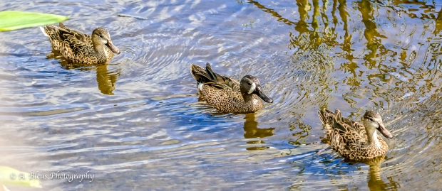 Blue-winged Teal Duck_93E5808