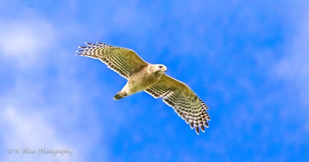 Cooper's Hawk_93E5758