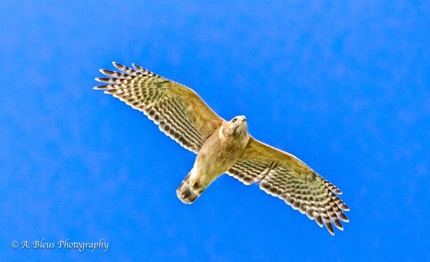 Cooper's Hawk_93E5762