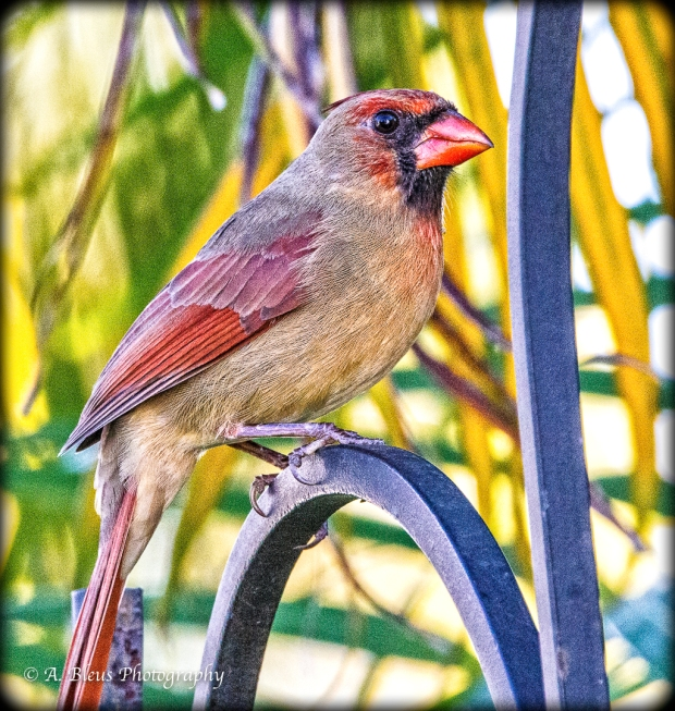 Female northern Cardinal on the look out, MG_7130