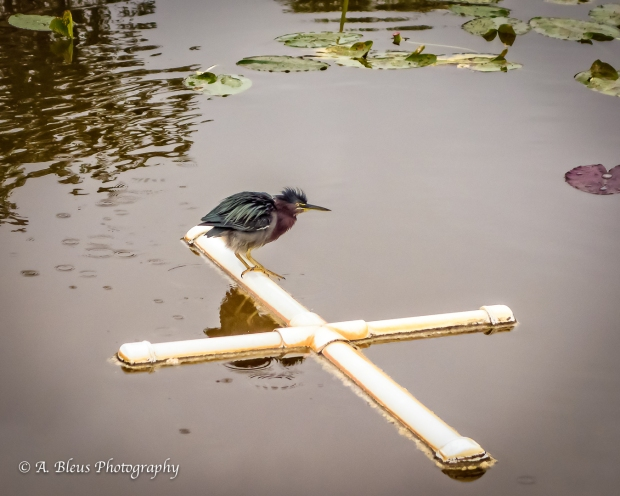 Little Green Heron_DSC04760