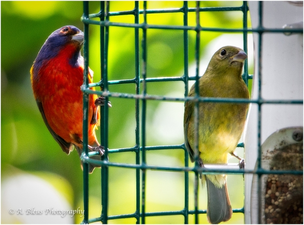 Male & Female Painted Bunting,_93E5623