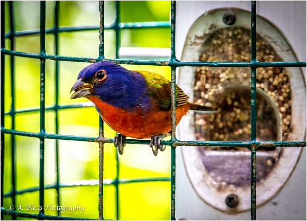 Male Painted Bunting,_93E5618