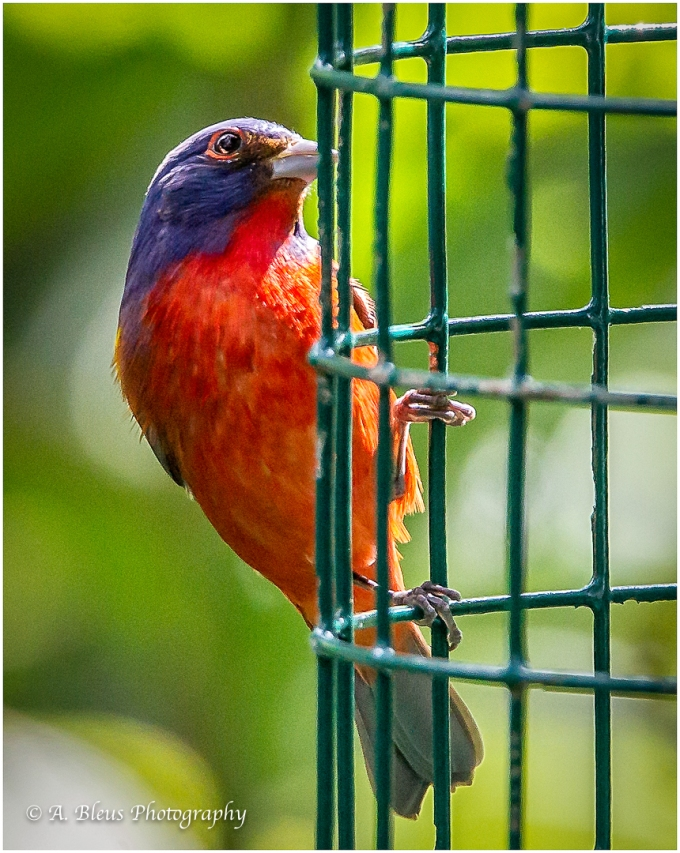Male Painted Bunting,_93E5625-2