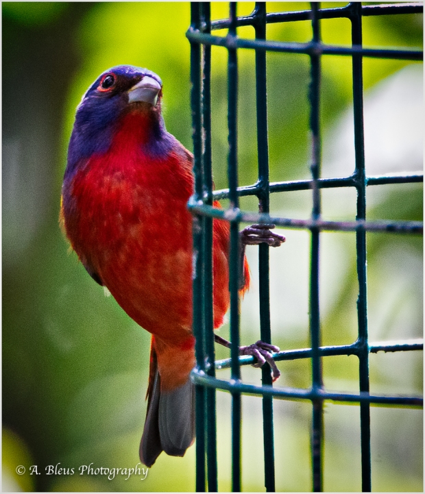 Male Painted Bunting,_93E5625