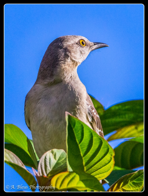 Northern Mockingbird, MG_6945