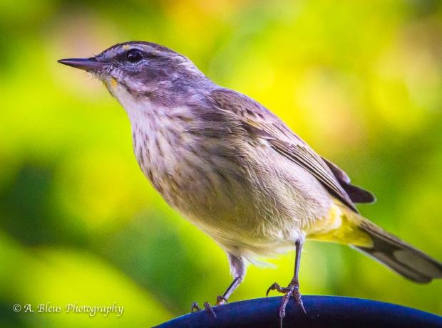 Warbler in my backyard, MG_6977