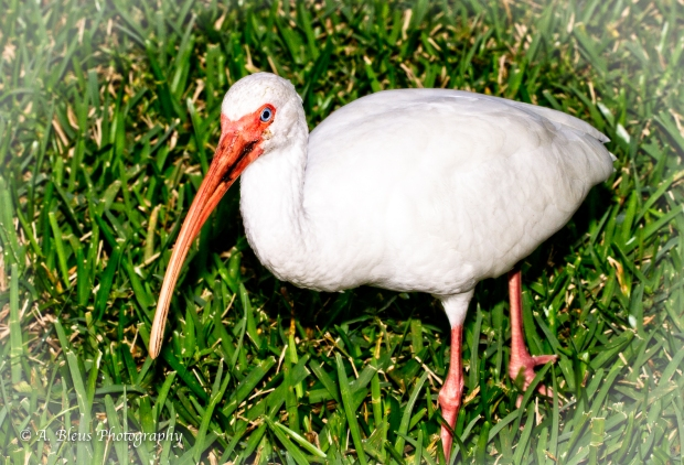 White Ibis in my backyard, MG_7023