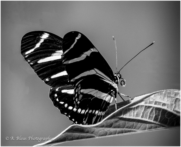 Zebra Longwing Butterfly in B&W_93E5679-2