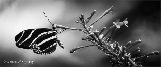 Zebra Longwing Butterfly in B&W_93E5679