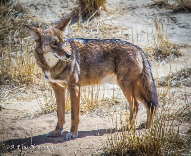 Coyotes, Colorado_93E2908-2