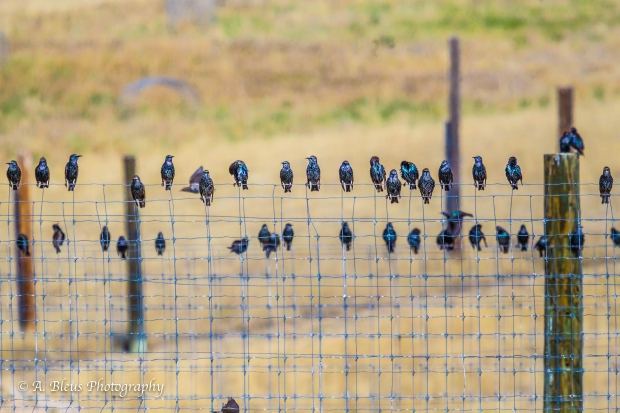 Flock of Birds, Colorado_93E3132-2